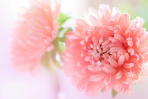 ピンクの菊の花で安眠