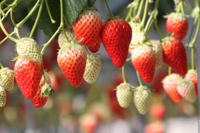 真っ赤な食べごろ完熟いちごとまだ白い未熟ないちご